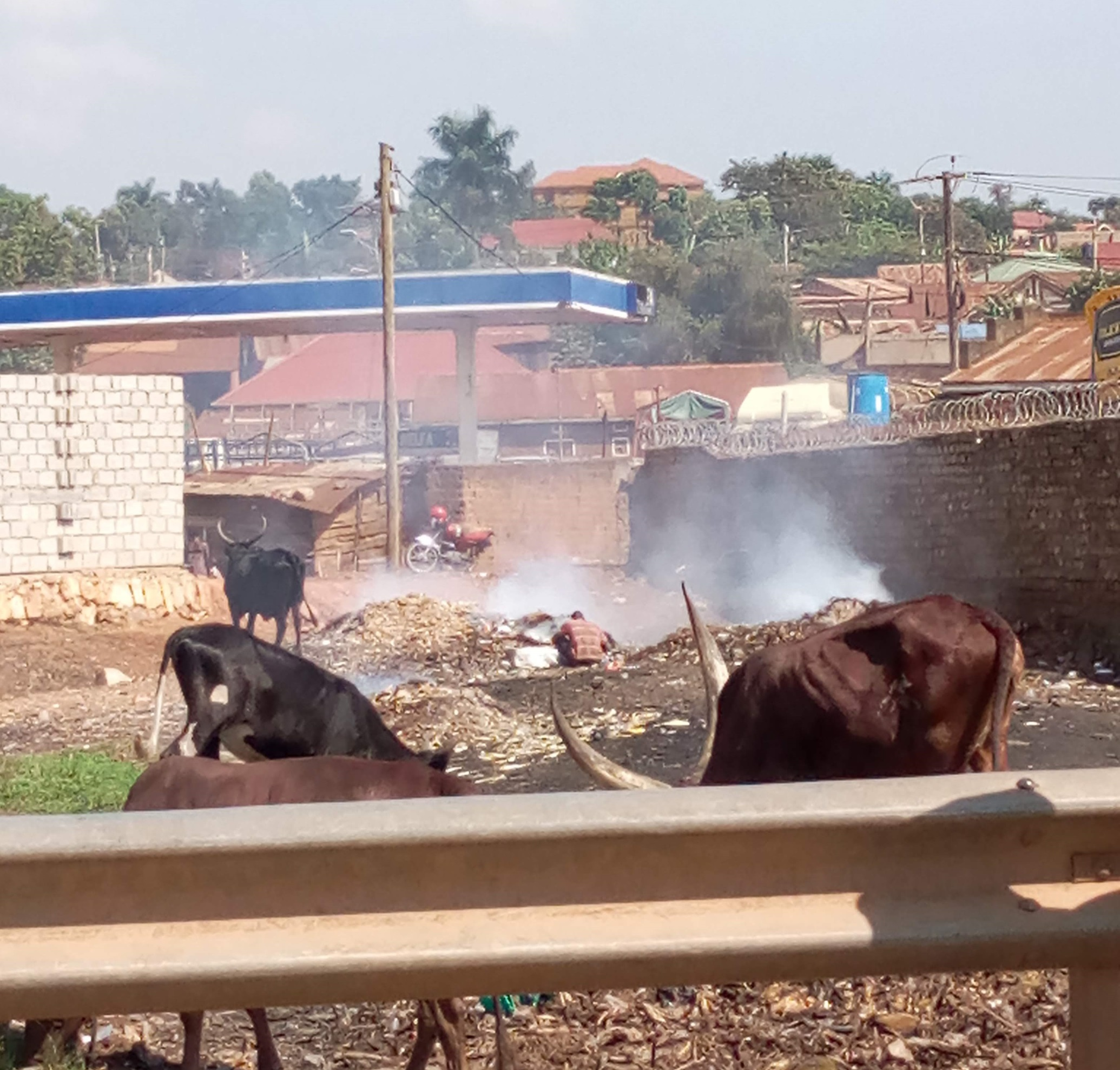 Burning rubbish among cattle_2072